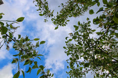 Белые цветки яблони Стоковое Изображение