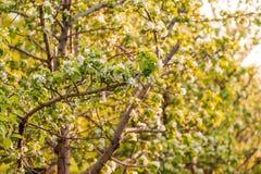 Белые цветки яблонь весной стоковое изображение rf