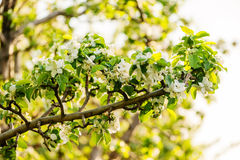Белые цветки яблонь весной стоковая фотография