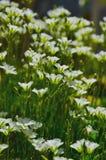 Белые цветки Стоковое Изображение