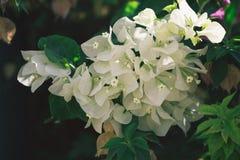 Белые цветки bougainvillaea в саде Стоковое Изображение RF