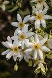 Белые цветки clematis Стоковое Изображение