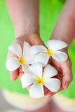 Белые цветки frangipani стоковое изображение rf