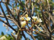 Белые цветки Frangipani Plumeria в предпосылке дерева Стоковые Изображения RF