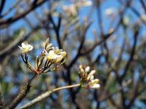 Белые цветки Frangipani Plumeria в предпосылке дерева Стоковое фото RF