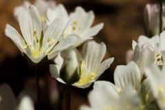 Белые цветки meadowfoam стоковая фотография rf