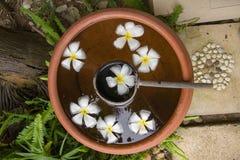 Белые цветки plumeria в баках терракоты Стоковое фото RF