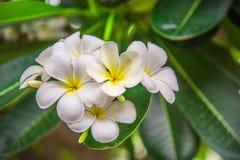 Белые цветки Plumeria на дереве Стоковые Фото