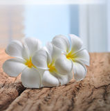 Белые цветки plumeria на древесине Стоковые Фотографии RF