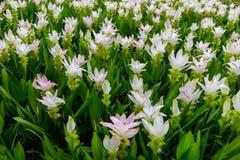 Белые цветок тюльпана Сиама или alismatifolia куркумы Стоковые Фото