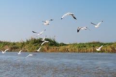 Белые чайки летают над рекой и берегом реки Стоковое Фото