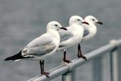 Белые чайки на загородке стоковое фото rf
