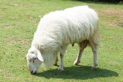 Белые шерстистые овцы Стоковые Фото