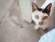 Белые шерсти и желтый кот глаза от Таиланда Стоковая Фотография