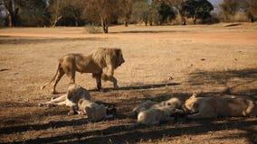 Белые львы на парке льва в Южной Африке Стоковое Изображение