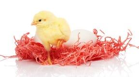 Белые яичка в розовом бумажном гнезде и малом желтом цыпленке Стоковое фото RF