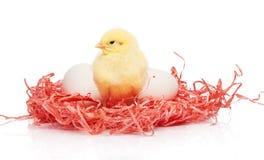 Белые яичка и малый желтый цыпленок украшают дырочками бумажное гнездо Стоковое Фото