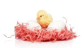 Белые яичка цыпленка и малый желтый цыпленок в розовом бумажном гнезде Стоковое Изображение RF