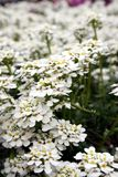 Белые Стоковая Фотография RF