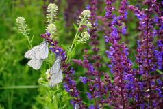 Белые bytterflies, crataegi Aporia стоковое фото rf