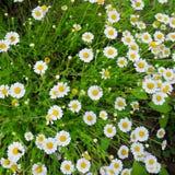 Белые camomiles и трава Стоковые Фотографии RF