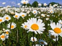 Белые camomiles на предпосылке голубого неба Стоковое Фото