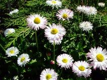 Белые camomiles с желтым центром стоковые фото