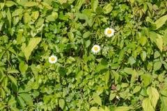 Белые camomiles с одичалой лозой зеленеют предпосылку изгороди Стоковая Фотография RF