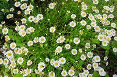 Белые camomiles Стоковые Фото