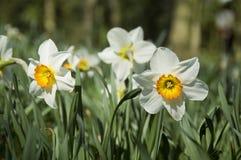 Белые daffodils стоковое изображение rf