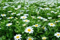 Белые edelweiss Стоковые Изображения