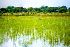 Белые egrets скотин в поле риса Стоковые Фото