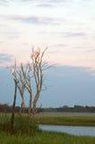 Белые Egrets Стоковое Изображение RF