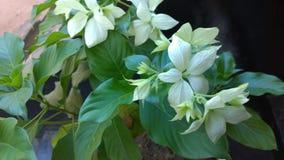 Белые flowes и листья Стоковое Фото