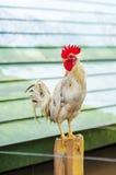 Белые gamecocks Стоковая Фотография RF