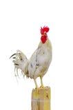 Белые gamecocks Стоковое Изображение RF
