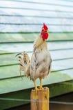 Белые gamecocks Стоковые Фото