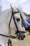 Белые horseголовные стоковые фото