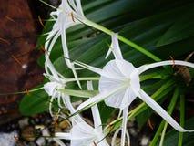 Белые hymenocallis Стоковая Фотография RF