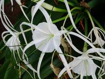 Белые hymenocallis Стоковые Изображения