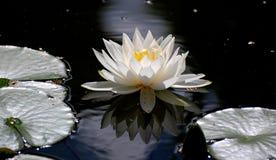 Белые lotos в воде Стоковые Изображения