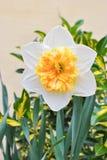 Белые narcissus gentle гигант стоковое фото rf