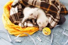 Белые Newborn котята в одеяле шотландки Стоковые Изображения