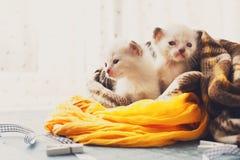Белые Newborn котята в одеяле шотландки Стоковые Фотографии RF
