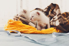 Белые Newborn котята в одеяле шотландки Стоковые Фото