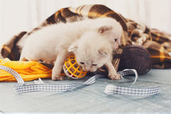 Белые Newborn котята в одеяле шотландки Стоковое Фото