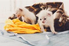 Белые Newborn котята в одеяле шотландки Стоковое Изображение RF