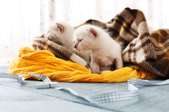 Белые Newborn котята в одеяле шотландки Стоковое фото RF