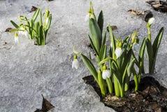 Белые snowdrops в снежке Стоковые Фотографии RF