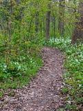 Белые trilliums в лесе Стоковые Изображения RF